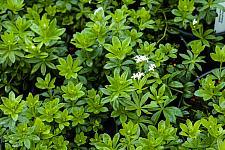 Galium odoratum  sweet woodruff