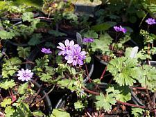 Geranium  Bill Wallis geranium