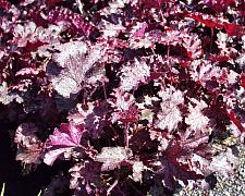 Heuchera  Stormy Seas alumroot