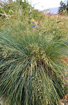 Festuca idahoensis  Idaho fescue