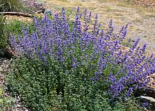 Nepeta  Six Hills Giant giant catmint