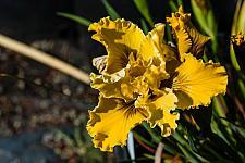 Iris  Pacific coast hybrid  iris pacific coast hybrid
