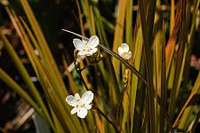 Libertia peregrinans  New Zealand iris