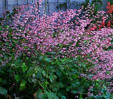 Heuchera  Lillian's Pink alumroot