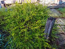 Lonicera nitida Maigrun box honeysuckle