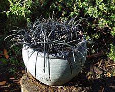 Ophiopogon p. Nigrescens  black mondo grass