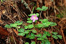 Oxalis oregana Pink redwood sorrel