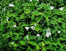 Oxalis oregana White redwood sorrel