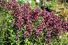 Penstemon  Sour Grapes beard tongue
