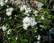 Philadelphus lewisii Goose Creek California mock orange