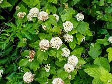 Physocarpus capitatus  western nine bark