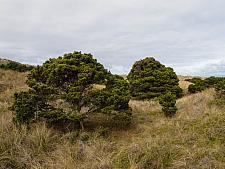 Pinus contorta  shore pine