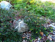 Arctostaphylos uva-ursi Point Reyes bearberry