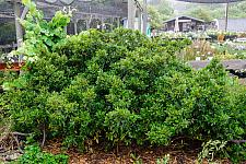 Rhamnus californica Mound San Bruno Dwarf coffeeberry