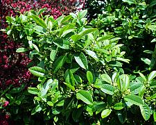 Rhamnus californica Eve Case coffeeberry
