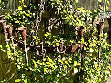 Ribes viburnifolium  evergreen currant