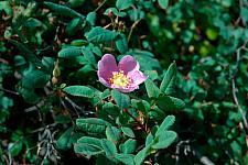 Rosa californica  wild rose