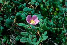 Rosa californica  wild rose