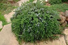Rosmarinus officinalis Huntington Carpet trailing rosemary