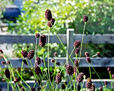 Sanguisorba officinalis  great burnet