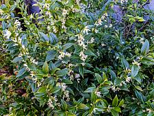 Sarcococca confusa  sweet box