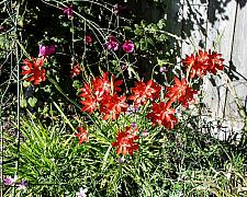 Schizostylis coccinea  crimson flag