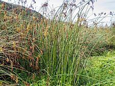 Scirpus californicus  California tule
