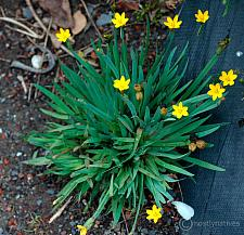 Sisyrinchium californicum  yellow eyed grass