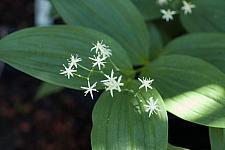 Smilacina stellata  starry Solomon's plume