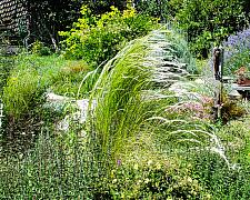 Stipa ichu  Peruvian feather grass