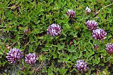 Trifolium wormskioldii  Wormskiold's clover