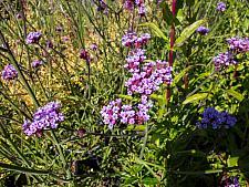 Verbena bonariensis  giant verbena