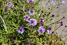 Verbena lilacina de la Mina  Cedros Island verbena