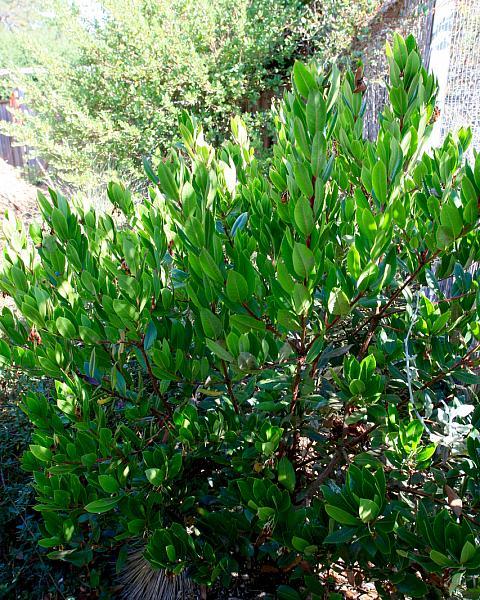 Arbutus unedo compacta  compact strawberry tree