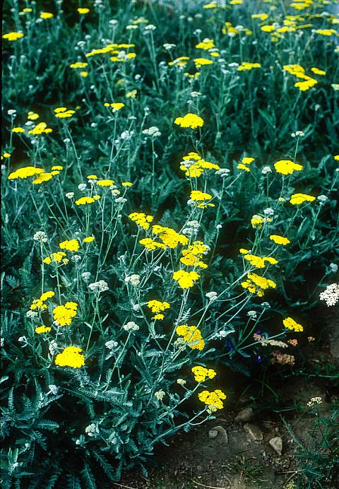 Achillea Moonshine  yellow yarrow