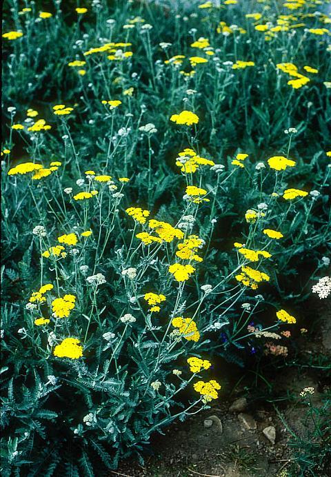 Achillea Moonshine  yellow yarrow