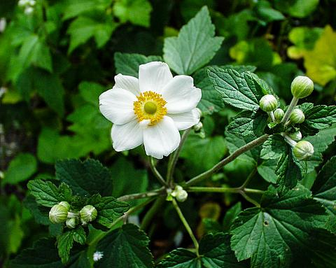 Anemone x hybrida 'Honorine Jobert' | Mostly Natives Nursery