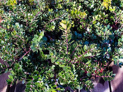 Arctostaphylos x Emerald Carpet bearberry