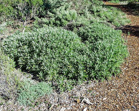 Artemesia douglasiana  mugwort