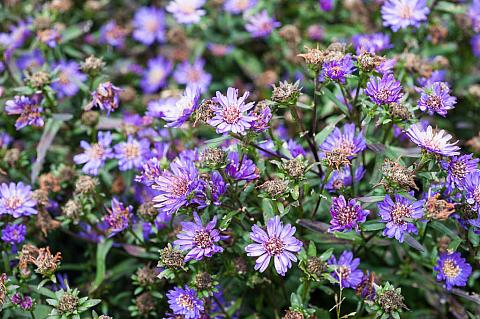 Aster cordifolius Little Carlow blue wood aster