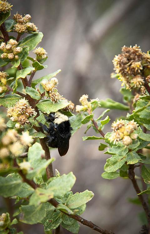 Baccharis pilularis  coyote bush