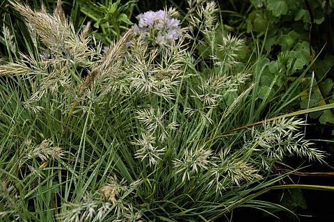 Calamagrostis foliosa  Leafy Reed Grass
