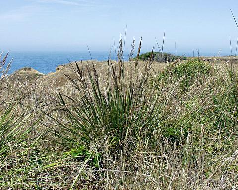 Calamagrostis nutkaensis  Pacific reed grass