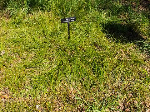 Carex pansa  California meadow grass