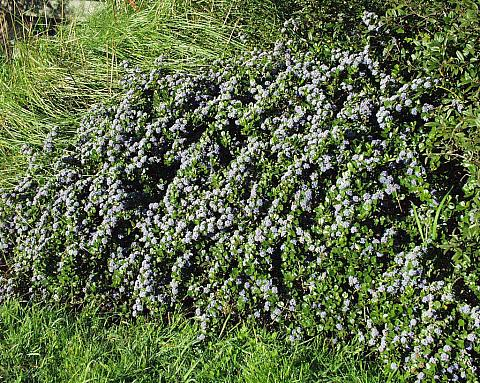Ceanothus gloriosus Anchor Bay wild lilac