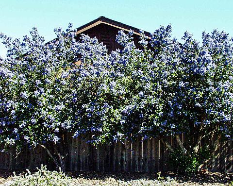 Ceanothus x arboreus Ray Hartman wild lilac