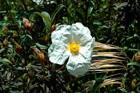 Cistus x Elma white rock rose