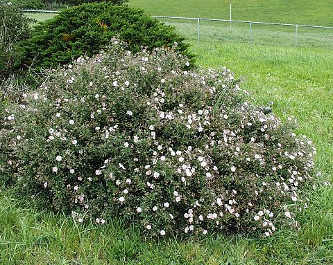 Cistus skanbergii  rock rose