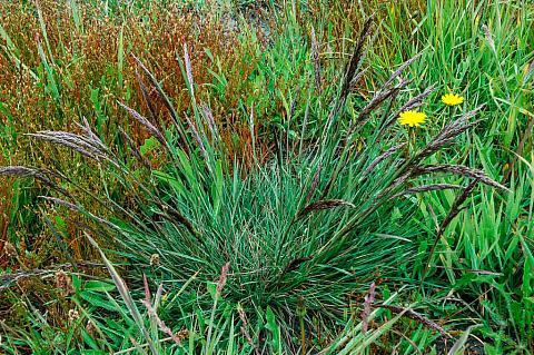 Deschampsia caespitosa holciformis Sonoma Coast tufted hair grass