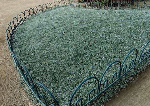 Dymondia margaretae  silver carpet